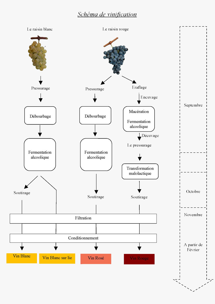 schema-vinification-blancs_rouges_